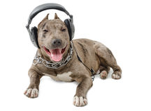 pit-bull-headphones-dog-breed-lying-isolated-white-background-50084947.jpg